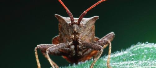 La cimice asiatica, praticamente priva di nemici naturali, minaccia i frutteti italiani