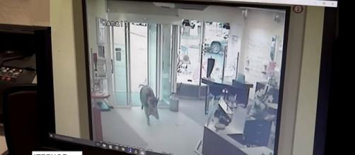 Wild boars invaded a northern German town injuring 4 people [Image credit: Associated Press/YouTube]