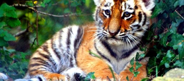 An underweight Bengal Tiger was among one of the many animals rescued.[Image credit: Keven Law/Wikimedia Commons]