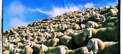 L'allevatore di Ploaghe ha sgozzato barbaramente le sue pecore che non producevano più latte buono.