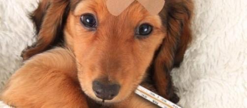 Immagine di cane con il termometro.