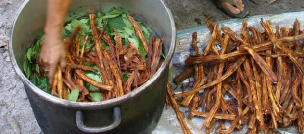 Una fase della preparazione dell'Ayahuasca (http://www.medicinehunter.com/ayahuasca-plant-healing-soul)