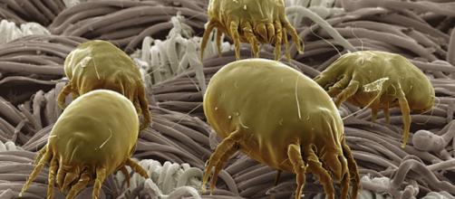 Ácaros vistos a través de un microscopio de barrido.