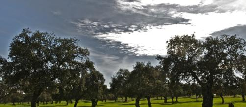 Encina, el árbol predominante de España y de la mayoría de sus comunidades autónomas