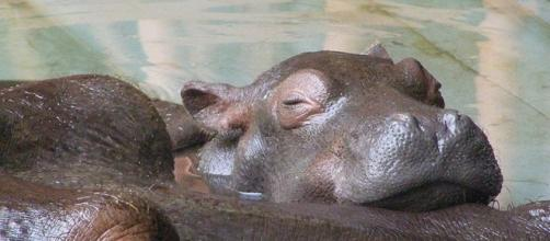 Fiona the baby hippo at Cincinnati Zoo photobombed a couple's engagement. [Image credit: Frank Wouters/Wikimedia/CC BY 2.0]