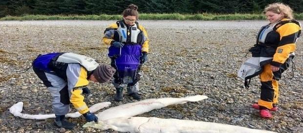 Achada em praia distante do Alasca, animal desperta a curiosidade de pescadores e cientistas (Pen News/Katie McCaffrey)