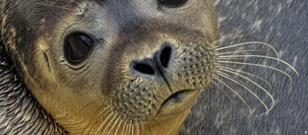 Seal ends up on Alaska airport runway. (Photo via: Alaska/Pixabay)