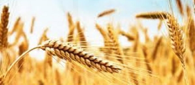 Report da dove viene il grano della pasta che mangiamo for Da dove proviene il grano della barilla