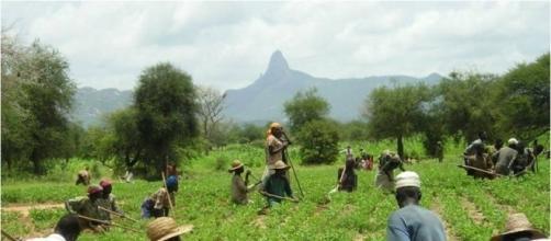 Contadini dell'Africa subsahariana alle prese durante un raccolto.