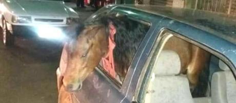 Pônei estava dentro de veículo dirigido por homem embriagado - Reprodução