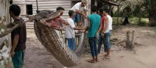 A man survived an attempt to capture a 23ft reticulated python in Indonesia [Image: YouTube/Cold Stone]