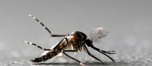 Mosquito da dengue carrega três tipos de doença