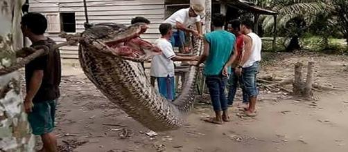 Foto mostra serpente de 7,8 metros morta após ataque a homem