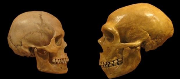 Human and Neanderthal skulls [Image via hairymuseummatt (original photo),DrMikeBaxter (derivative work)|Wikimedia Commons| Cropped| CC BY-SA 2.0]