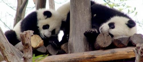 Toronto Zoo releases a video compilation of cute giant panda cub tumbles [Image: Flickr by PROgill_penney/CC BY 2.0]