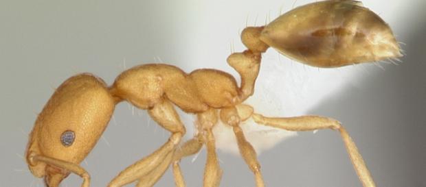 Pharaoh Ants. -- (April Nobile via Wikimedia Commons)