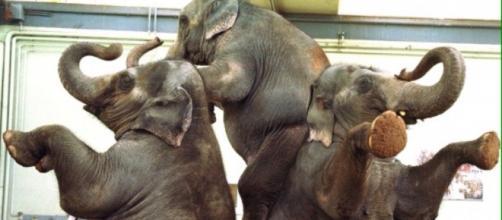 Animali sottomessi a spettacoli da circo.