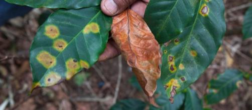 Fungus Cripples Coffee Production Across Central America - The New ... - nytimes.com