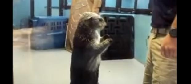 A new study on otters has taken place in 2017. -- YouTube screen capture / Funniest Otter Videos EVER