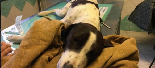 Freccia, il cane trovato infilzato da un arpione a Nuoro, ora in cura presso una clinica veterinaria di Oristano
