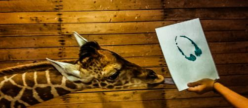 Alf the Giraffe. [Image Credit: Brights Zoo]