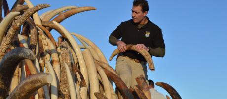 Trump to reverse ban on ivory. [Photo via USFWS Mountain-Prairie/Flickr]