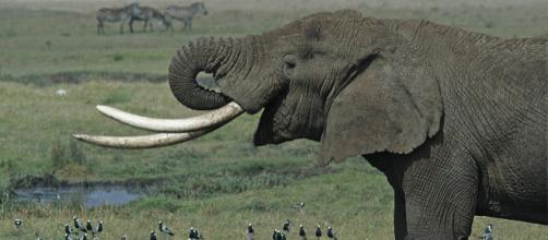 Tanzanian Elephant ((Image credit – Schuyler Shepherd, Wikimedia Commons)