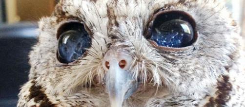 Zeus, un búho ciego que tiene unos ojos preciosos