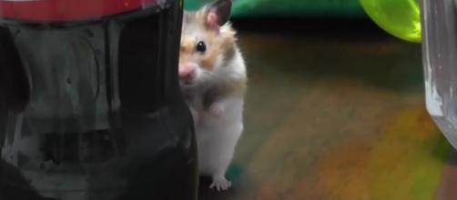Popular hamsters hat can be kept as pets. - [Image Credit:MashupZone/YouTube]