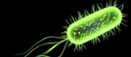 Escherichia coli (E. coli) célèbre bactérie peuplant nos intestins