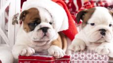 A puppy for Christmas: what to consider before buying
