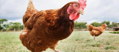 Adolescente abusa sexualmente de galinha