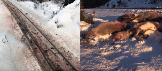 Bloodstained tracks and dead reindeer in Norway [Image credit: United News International/YouTube]