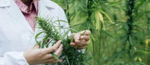 Marihuana medicinal para tratar enfermedades