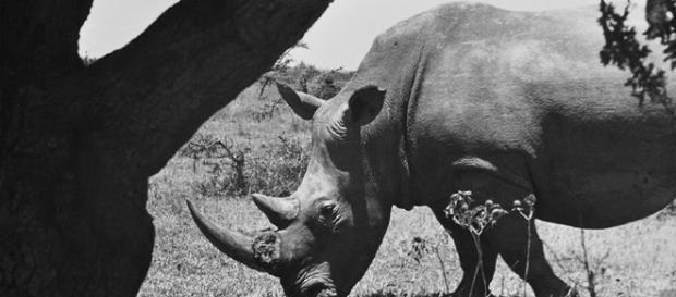 Africa 1958. Rinoceronte. Foto di Imer Guala