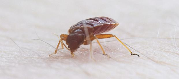 How to get rid of bed bugs without burning own your house [Image: commons.wikimedia.org]