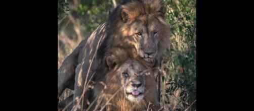 2 male lions were snapped mating, leading to Kenya's censor boss blaming gays [Image credit: United News International/YouTube]