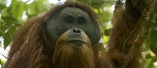 A Tapanuli orangutan via Wikimedia commons shot by Tim Laman