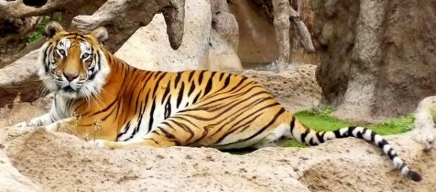 A Siberian tiger attacked a zookeeper who was saved by onlookers throwing things at it. [Image credit: Pixabay/CC0]