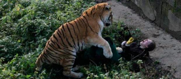 Tiger attackiert Pflegerin in russischem Zoo - bild.de