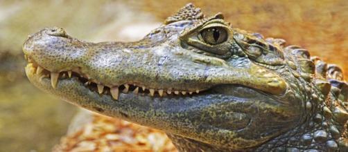 Crocodilo pode ser criado legalmente