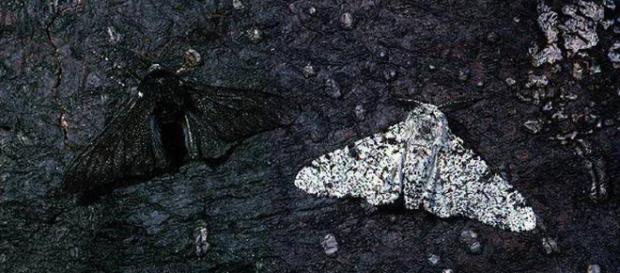 L'inquinamento come fattore di selezione della biodiversità: il caso Biston betularia
