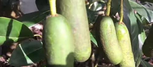 Pitless avocados also known as 'cocktail avocados' are produced due to unpollinated blossoms. - [YouTube screencap / daleysfr]