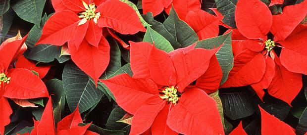 December 12 is National Poinsettia Day [Image: wikimedia.org]
