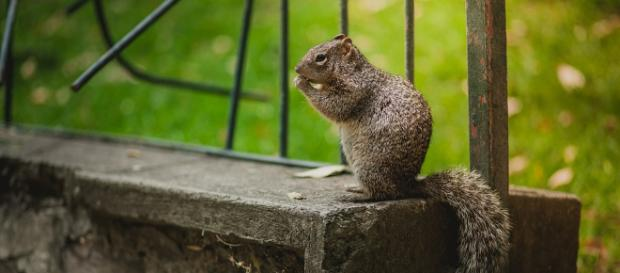 Squirrel who was rescued eight years ago keeps coming back to say hello. - [Image credit: Pixabay/CC0]