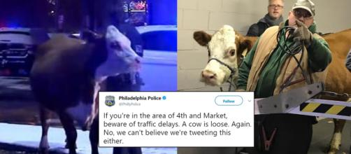 A nativity scene cow is corralled for a second time in a parking garage in Philadelphia. Image Credit: Blasting News
