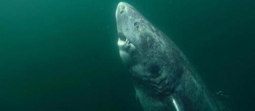 Tubarão-da-Groelândia fêmea encontrado por pesquisadores pode ter incríveis 512 anos de idade