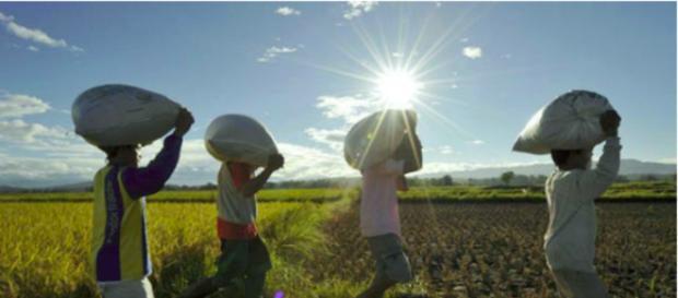 CHEQUE DE SUMINISTRO Mantener el suministro de arroz bajo control es crucial porque reduce el precio minorista del grano en el mercado.