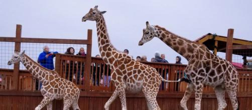 The giraffe family of Animal Adventure Park. [Image Credit: Susan Cooke Ballinger]