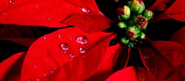 Storia Della Stella Di Natale.Le Piante Di Natale Simbologia E Riti Propiziatori